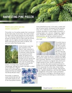 comprehensive-guide-to-harvesting-pine-pollen by Michelle B via Slideshare