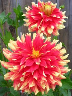 Dahlia 'Bodacious' Flowers. They are huge and beautiful!