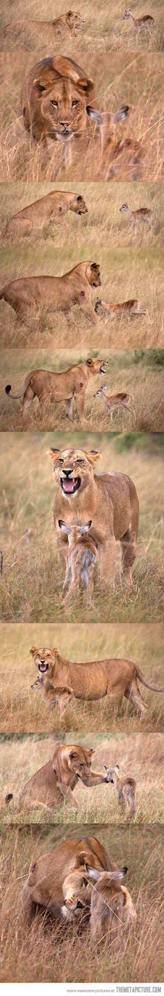 Lioness adopts baby gazelle…