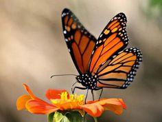 Una mariposa Monarca.
