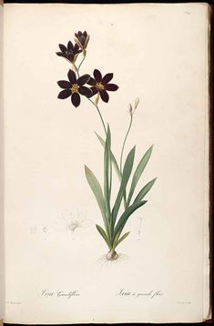 Redouté. Ixia grandiflora. http://www.plantillustrations.org/illustration.php?id_illustration=37298