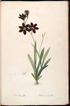 Redouté. Ixia grandiflora. http://www.plantillustrations.org/illustration.php?id_illustration=37298