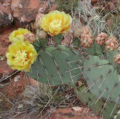 Opuntia phaeacantha image. Ottawa hardy cactus