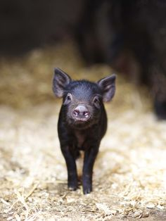 Baby pigs are one of the most adorable creatures on this earth...in my opinion.