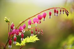 Bleeding Heart - 금낭화 by RYNTEN  on 500px