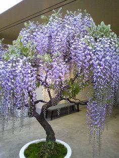 Some of the most popular varieties include wisteria sinensis - sinisade (used for bonsai)… Wisteria Bonsai, Bonsai Garden, Bonsai Trees, Succulents Garden, Unique Gardens, Beautiful Gardens, Landscape Design, Garden Design, Miniature Trees