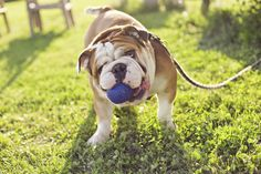 "Bulldog      The bulldog may look like a grumpy old git but is said to have a ""kind, resolute and dignified demeanour"" and is a good choice for families, as the breed bonds well with children."