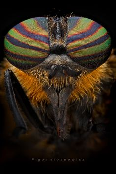 The Aviator - A common horse fly, Tabanus bovinus (so it's rather a bull's fly...). ~ photo by Igor Siwanowicz @ `Blepharopsis