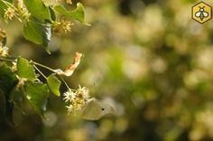 Kwitnąca lipa drobnolistna (Tilia cordata)