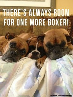 boxer love I keep trying to tell Seth we need 1 more lol