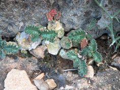 Dorstenia lavrani in habitat (Erigavo, Somalia)