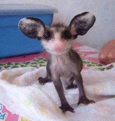 a baby possum! - Wow - Wow images - a baby possum! The post a baby possum! appeared first on Gag Dad. Cute Creatures, Beautiful Creatures, Animals Beautiful, Cute Baby Animals, Animals And Pets, Funny Animals, Cute Animal Drawings, Cute Animal Pictures, Animal Fun