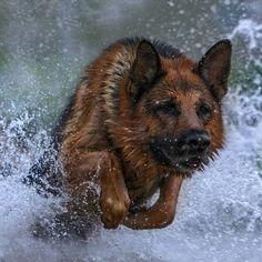 German Shepherd in the water.