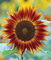 Little Becka Hybrid Sunflower Seeds and Plants, Annual Flower Seeds at Burpee.com For my dream sunflower garden! #gardening