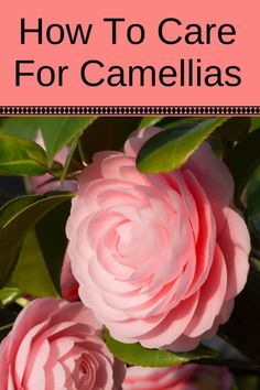 Learn how to care for camellias and enjoy them in pots or in hedges by adding them to your landscape. See lots of camellias of all colors for inspiration. #flowers #camellias #shrubs #plants #prettyflowers #hedges #landscaping #landscapingideas