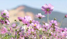Flores de Heno de Montaña