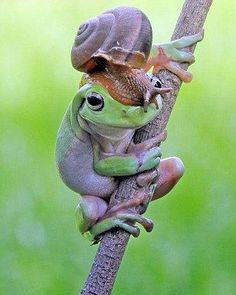 Dapper gent: The Australian green tree frog was caught 'wearing' a snail on its head