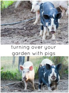 Lessons in permaculture--Interesting, but I just can't see us with pigs.