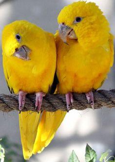 yellow parrots #parrotsinpairs