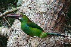 Se acerca la segunda Feria Internacional de aves 'Colombia BirdFair', que se realizará en Cali del 11 al 13 de marzo. Para estar bien preparados escogimos los sonidos de cinco ejemplares para que los escuches.