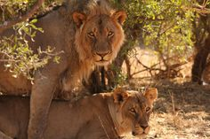 Lions caught in the act - Botswana