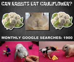 """Bunbun takes a look at cauliflower as a rabbit food in this episode of """"Can rabbits eat this or not"""" Rabbit Eating, Rabbit Food, Can Rabbits Eat Cauliflower, Rabbit Gif, Old Bar, Bunnies, Canning, Pets, Animals"""