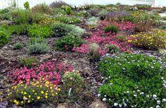 Waterwise garden at Ysterfontein -- mostly indigenous -- photo Beau W Rowlands Xeriscape, Plants, African Plants, School Garden, Eco Garden, Fynbos, Landscaping With Rocks, Dry Garden, Waterwise Garden