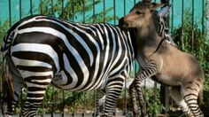 Zonkey - This zebroid occurs naturally as well as through human intervention when a zebra and donkey breed.
