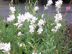$4.50 per plant Zone 5-10, Full Sun, Height 2-3 feet, Well Drain Soil  Well established starter plant 3-4 inches tall  Bright white flowers with red stems that resemble small butterflies float above willow-like foliage. Blooms summer through fall. Great plant to attract butterflies to your garden.