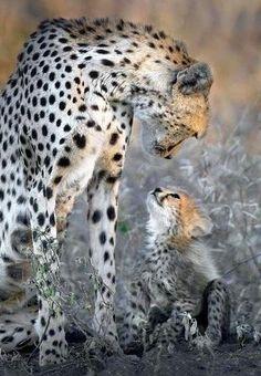 Cheetahs discuss..