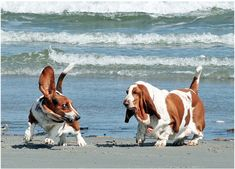 basset hounds on the beach