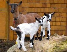 goats kids with their mother  - on display at a plant nursery to encourage customers to come #goatvet