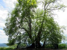 The platanus or plane tree of Skhtorashen, Republic of Nagorno Karabakh, is reputed to be the oldest tree in the former USSR. Plane Tree, The Republic, Old Things, Plants, Flora, Plant, Planting