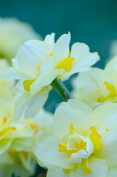 daffodils - One of my FAVORITE flowers!