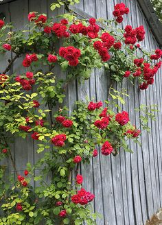 Red roses climbing up the side of a barn ...