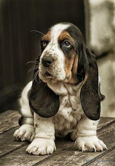 "BASSET HOUND chillypepperhothothot: "" Il-Bassotto poliziotto… by Accursio Castrogiovanni "" Basset Puppies, Hound Puppies, Basset Hound Puppy, Cute Puppies, Cute Dogs, Dogs And Puppies, Doggies, Bloodhound Dogs, Saint Hubert Chien"