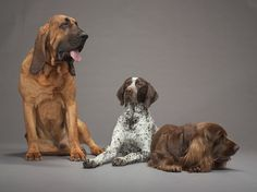 L-R:  Bloodhound, German Shorthaired Pointer, Sussex Spaniel