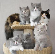 British Longhair Kittens   Cattery Nomoya   The Netherlands   www.kittentekoop.nl