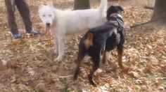 Rottweiler vs Alabai Central Asian Ovtcharka #ViralDogMoments