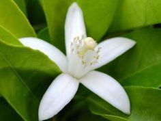 Flor da Laranjeira.