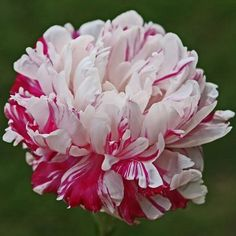Hollingsworth Peonies - Candy Stripe