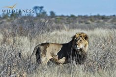 Kalahari Plains Camp - Predator concentrations are also high and sightings of the almost mythical black-maned Kalahari lion are complemented by some of the best cheetah viewing in Africa. #Safari #Africa #Botswana #WildernessSafaris