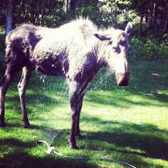 This moose is looking for a little relief from the heat! Thanks to #LLBean fan Gregory N. for sharing.