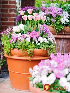 Tulips, pansies, and toadflax in shades of pink and white blend in this cool-season container garden. 'White Emperor' tulip is also known as 'Purissima'. Double-flowered 'Angelique' tulip evokes apple blossoms with its two-tone pink-and-white blooms. Garden Bulbs, Planting Bulbs, Garden Pots, Planting Flowers, Fruit Garden, Container Plants, Container Gardening, Decoration Plante, Bloom