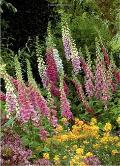 Foxgloves have a majestic appearance to them.  They stand out I any garden.
