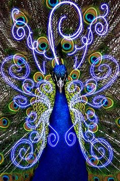 Reminds me of a black light poster from 'back in the day' .....kl Peacock Images, Peacock Pictures, Pavo Real, Peafowl, Peacock Bird, Peacock Theme, Peacock Decor, Peacock Design, Peacock Colors