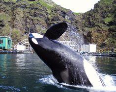News: Refuting SeaWorld and Mark Simmon's False Claims About Keiko and Sea Pen Sanctuaries Keiko Orca, Sea Shepherd, Network For Good, Killer Whales, Sea World, Natural Life, Animal Rights, Wedding Humor, Ocean Life