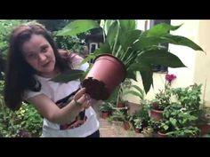 Cum ingrijim Crinul pacii (Spathiphyllum) #ingrijireaflorilor - YouTube Indoor Plants, Home And Garden, Gardening, Youtube, Horsehair, Plant, Inside Plants, Lawn And Garden, Youtubers