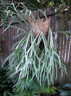 Silver Elkhorn Fern 'Lemoinei' (Platycerium veitchii)
