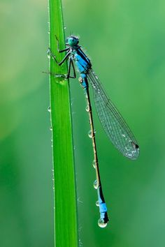 Dew fresh dragonfly
